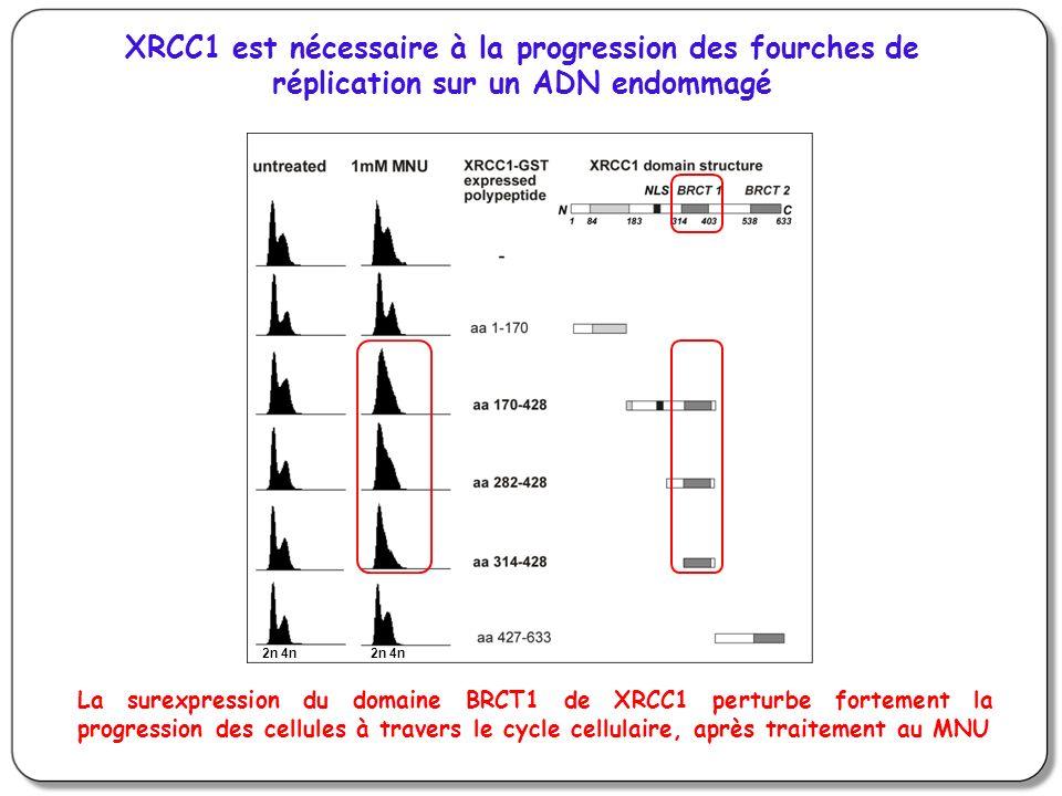 2n 4n XRCC1 est nécessaire à la progression des fourches de réplication sur un ADN endommagé La surexpression du domaine BRCT1 de XRCC1 perturbe fortement la progression des cellules à travers le cycle cellulaire, après traitement au MNU
