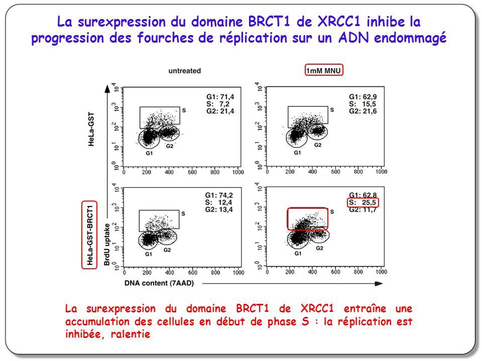La surexpression du domaine BRCT1 de XRCC1 entraîne une accumulation des cellules en début de phase S : la réplication est inhibée, ralentie La surexp