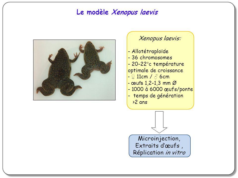 Xenopus laevis: - Allotétraploïde - 36 chromosomes - 20-22°c température optimale de croissance - 11cm / 6cm - œufs 1,2-1,3 mm Ø - 1000 à 6000 œufs/ponte - temps de génération >2 ans Microinjection, Extraits dœufs, Réplication in vitro Le modèle Xenopus laevis