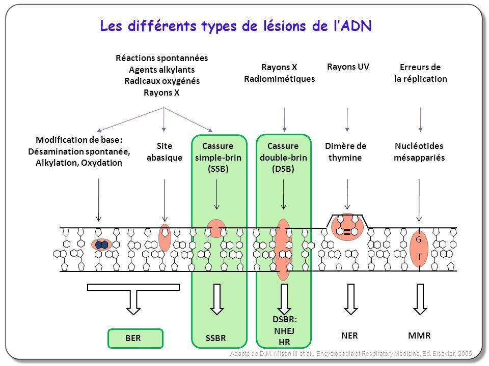 Les différents types de lésions de lADN Adapté de D.M.Wilson III et al., Encyclopedia of Respiratory Medicine, Ed. Elsevier, 2005