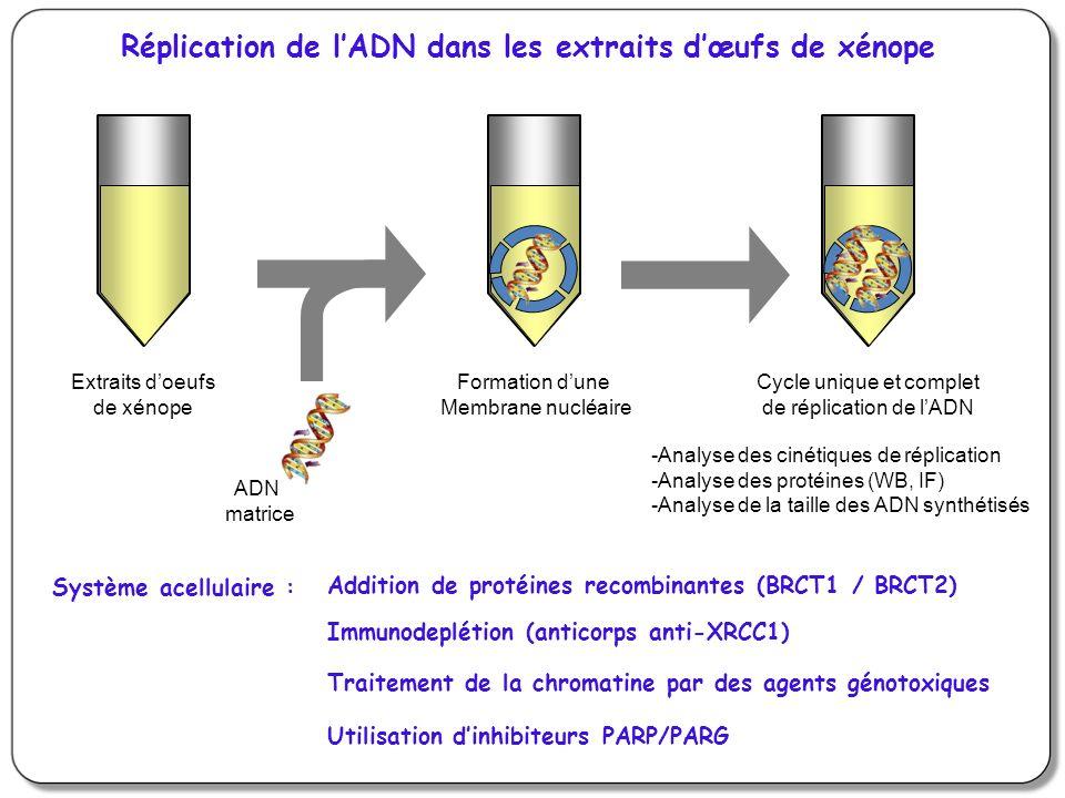Extraits doeufs de xénope ADN matrice Formation dune Membrane nucléaire Cycle unique et complet de réplication de lADN Système acellulaire : Immunodeplétion (anticorps anti-XRCC1) Utilisation dinhibiteurs PARP/PARG Addition de protéines recombinantes (BRCT1 / BRCT2) Traitement de la chromatine par des agents génotoxiques -Analyse des cinétiques de réplication -Analyse des protéines (WB, IF) -Analyse de la taille des ADN synthétisés Réplication de lADN dans les extraits dœufs de xénope