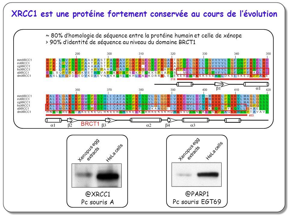 XRCC1 est une protéine fortement conservée au cours de lévolution ~ 80% dhomologie de séquence entre la protéine humain et celle de xénope > 90% didentité de séquence au niveau du domaine BRCT1 @XRCC1 Pc souris A Xenopus egg extracts HeLa cells @PARP1 Pc souris EGT69 Xenopus egg extracts HeLa cells
