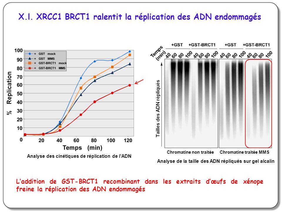 X.l. XRCC1 BRCT1 ralentit la réplication des ADN endommagés Analyse des cinétiques de réplication de lADN Laddition de GST-BRCT1 recombinant dans les