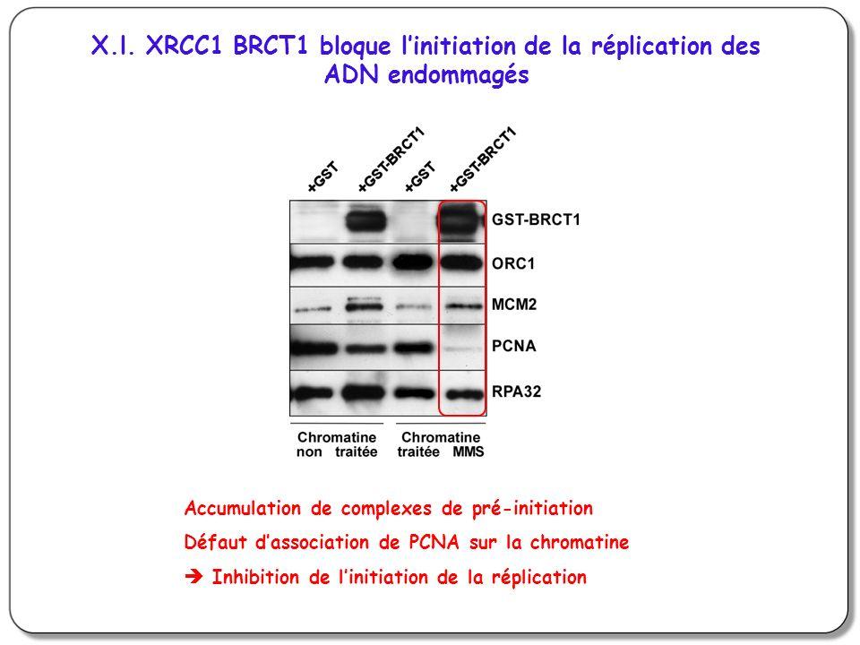 X.l. XRCC1 BRCT1 bloque linitiation de la réplication des ADN endommagés Accumulation de complexes de pré-initiation Défaut dassociation de PCNA sur l