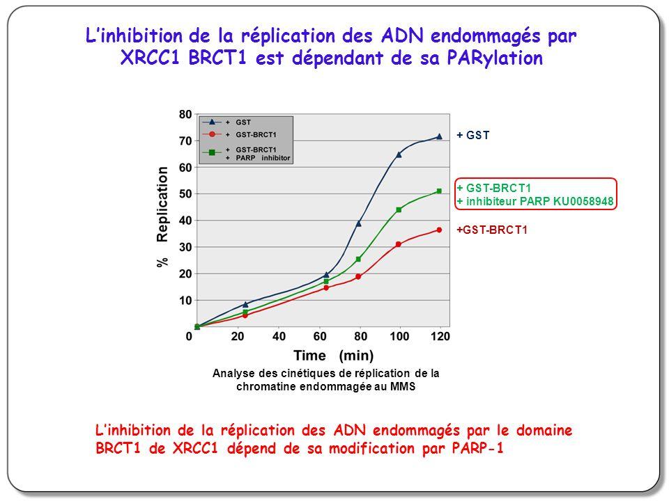 Linhibition de la réplication des ADN endommagés par XRCC1 BRCT1 est dépendant de sa PARylation Analyse des cinétiques de réplication de la chromatine