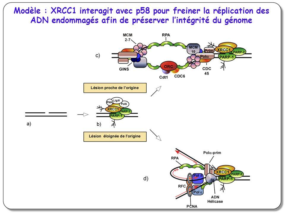 Modèle : XRCC1 interagit avec p58 pour freiner la réplication des ADN endommagés afin de préserver lintégrité du génome