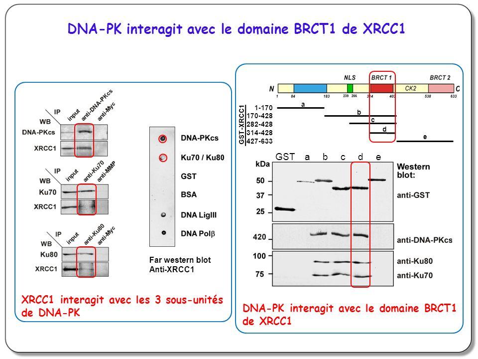 DNA-PK interagit avec le domaine BRCT1 de XRCC1 Far western blot Anti-XRCC1 XRCC1 interagit avec les 3 sous-unités de DNA-PK a b c d e GST-XRCC1 1-170 170-428 282-428 314-428 427-633 GST a b c d e DNA-PK interagit avec le domaine BRCT1 de XRCC1