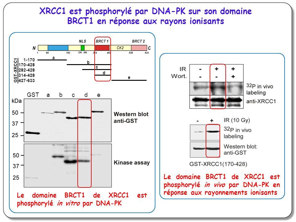 XRCC1 est phosphorylé par DNA-PK sur son domaine BRCT1 en réponse aux rayons ionisants Le domaine BRCT1 de XRCC1 est phosphorylé in vivo par DNA-PK en réponse aux rayonnements ionisants a b c d e GST-XRCC1 1-170 170-428 282-428 314-428 427-633 GST a b c d e Le domaine BRCT1 de XRCC1 est phosphorylé in vitro par DNA-PK