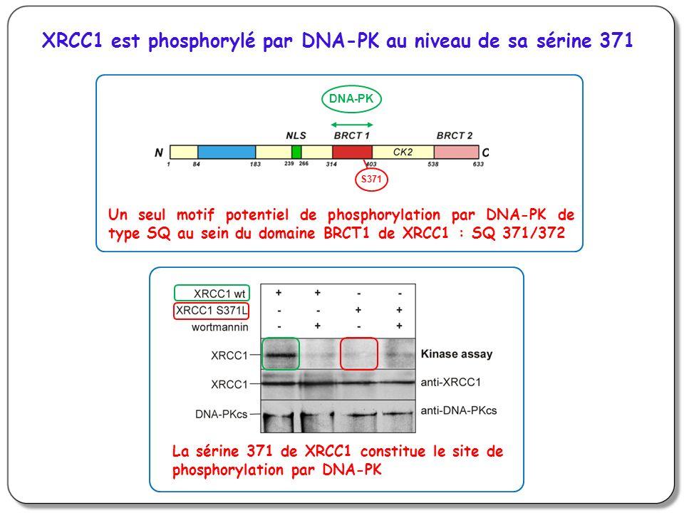 XRCC1 est phosphorylé par DNA-PK au niveau de sa sérine 371 DNA-PK S371 Un seul motif potentiel de phosphorylation par DNA-PK de type SQ au sein du domaine BRCT1 de XRCC1 : SQ 371/372 La sérine 371 de XRCC1 constitue le site de phosphorylation par DNA-PK
