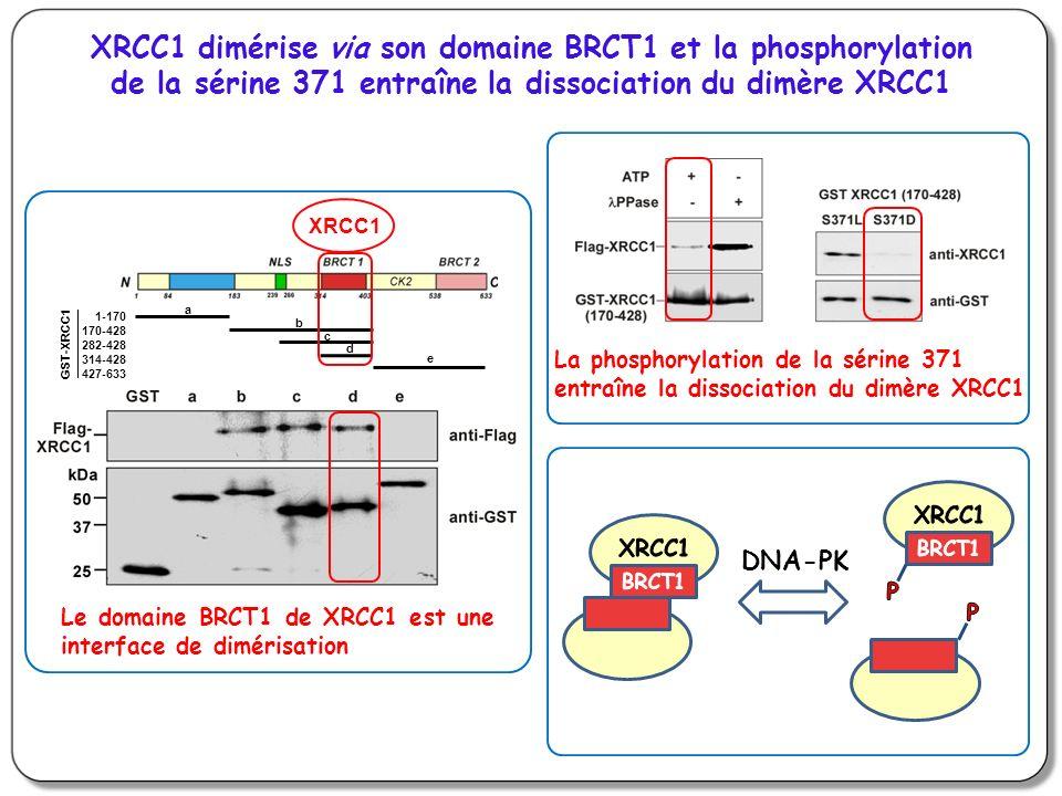 XRCC1 dimérise via son domaine BRCT1 et la phosphorylation de la sérine 371 entraîne la dissociation du dimère XRCC1 a b c d e GST-XRCC1 1-170 170-428 282-428 314-428 427-633 XRCC1 Le domaine BRCT1 de XRCC1 est une interface de dimérisation La phosphorylation de la sérine 371 entraîne la dissociation du dimère XRCC1 DNA-PK