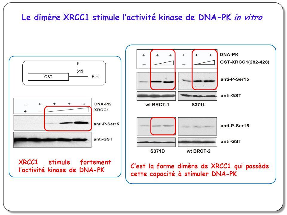 Le dimère XRCC1 stimule lactivité kinase de DNA-PK in vitro GST S15 P P53 XRCC1 stimule fortement lactivité kinase de DNA-PK Cest la forme dimère de X