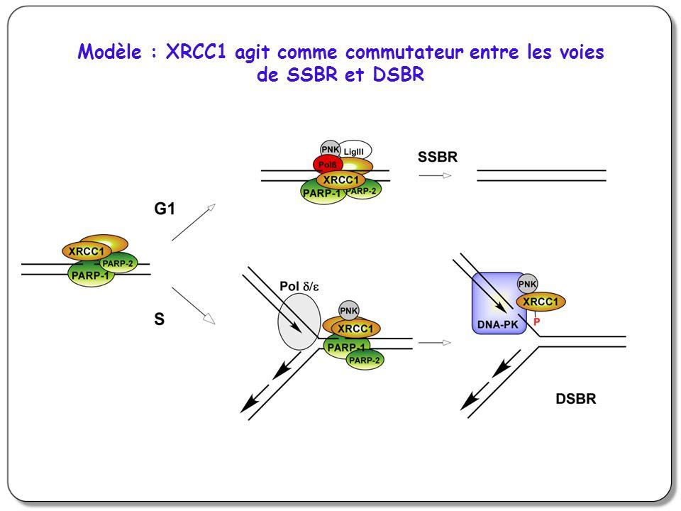 Modèle : XRCC1 agit comme commutateur entre les voies de SSBR et DSBR