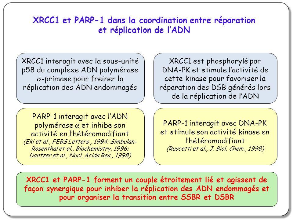 XRCC1 et PARP-1 dans la coordination entre réparation et réplication de lADN XRCC1 interagit avec la sous-unité p58 du complexe ADN polymérase -primase pour freiner la réplication des ADN endommagés XRCC1 est phosphorylé par DNA-PK et stimule lactivité de cette kinase pour favoriser la réparation des DSB générés lors de la réplication de lADN PARP-1 interagit avec lADN polymérase et inhibe son activité en lhétéromodifiant (Eki et al., FEBS Letters, 1994; Simbulan- Rosenthal et al., Biochemistry, 1996; Dantzer et al., Nucl.