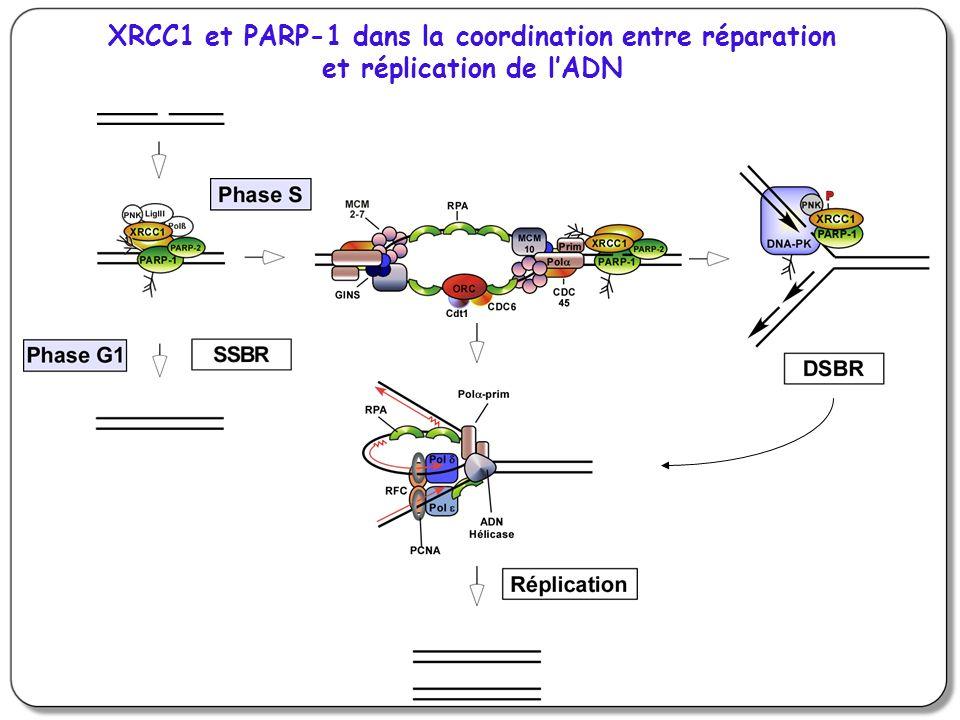 XRCC1 et PARP-1 dans la coordination entre réparation et réplication de lADN