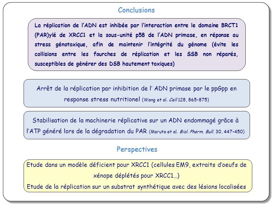 Perspectives Etude dans un modèle déficient pour XRCC1 (cellules EM9, extraits doeufs de xénope déplétés pour XRCC1…) Etude de la réplication sur un substrat synthétique avec des lésions localisées La réplication de lADN est inhibée par linteraction entre le domaine BRCT1 (PAR)ylé de XRCC1 et la sous-unité p58 de lADN primase, en réponse au stress génotoxique, afin de maintenir lintégrité du génome (évite les collisions entre les fourches de réplication et les SSB non réparés, susceptibles de générer des DSB hautement toxiques) Arrêt de la réplication par inhibition de l ADN primase par le ppGpp en response stress nutritionel (Wang et al.