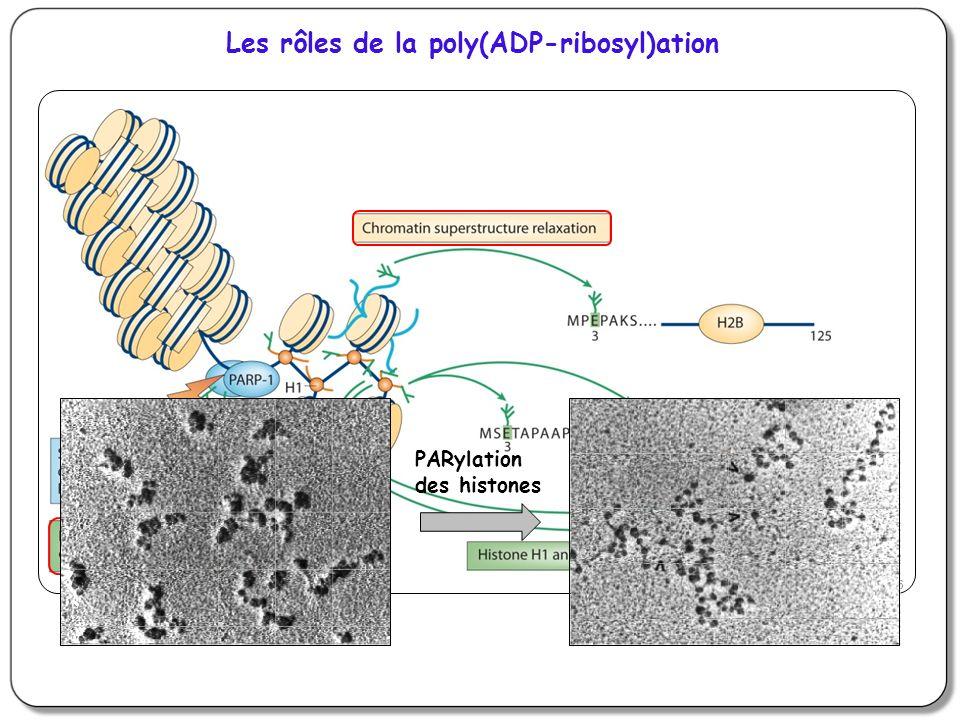 X-ray Repair Cross Complementing group 1, XRCC1 Protéine sans activité enzymatique : rôle de plateforme dinteraction et dorganisation Deux domaines homologues à lextrémité C-terminale de BRCA1 (BRCT) Recrutée en quelques secondes au niveau des coupures de lADN sur le PAR synthétisé par PARP-1 Anti-PAR Anti-XRCC1 DAPI + merge Recrutement de XRCC1 au niveau des lésions de lADN