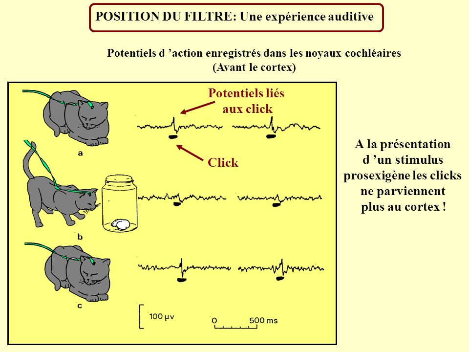 POSITION DU FILTRE: Une expérience auditive Potentiels d action enregistrés dans les noyaux cochléaires (Avant le cortex) A la présentation d un stimu