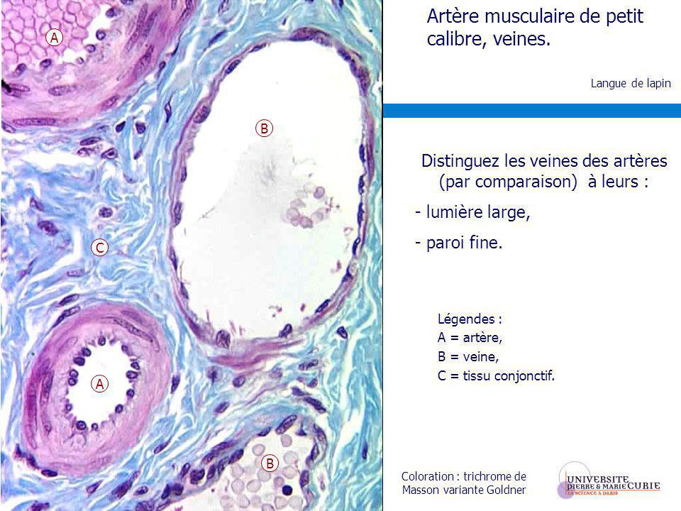 Légendes : A = artère, B = veine, C = tissu conjonctif. Langue de lapin Coloration : trichrome de Masson variante Goldner Artère musculaire de petit c
