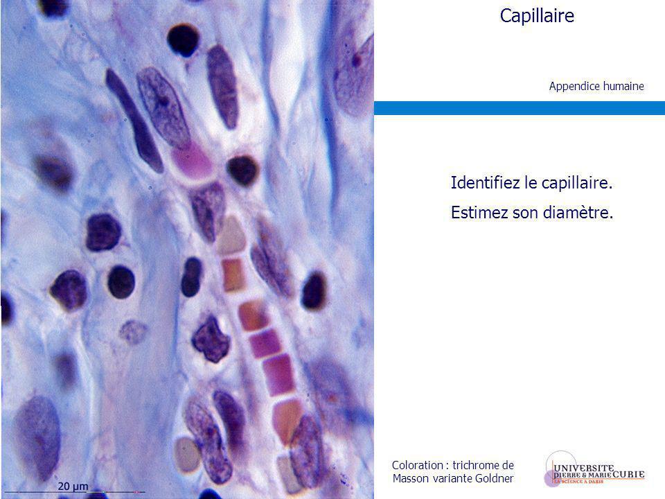 Coloration : trichrome de Masson variante Goldner Appendice humaine Capillaire Identifiez le capillaire. Estimez son diamètre.