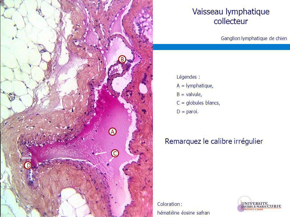 Vaisseau lymphatique collecteur Légendes : A = lymphatique, B = valvule, C = globules blancs, D = paroi. Ganglion lymphatique de chien A D C B Remarqu