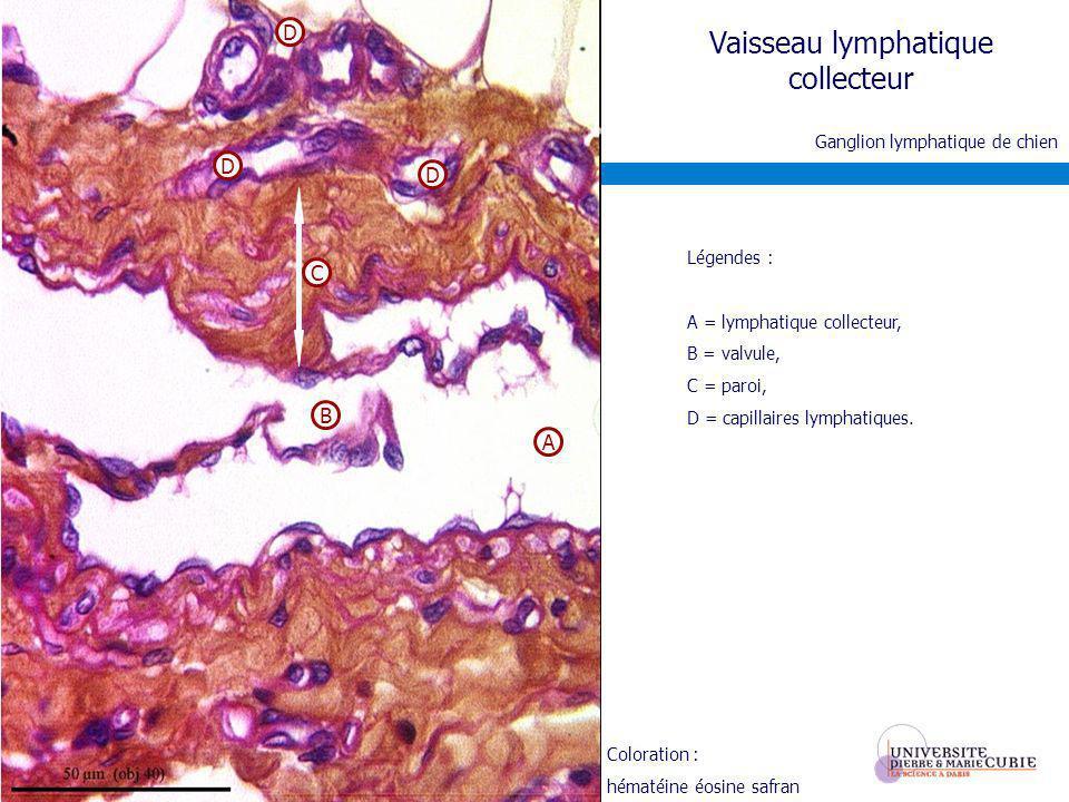 Coloration : hématéine éosine safran Vaisseau lymphatique collecteur Légendes : A = lymphatique collecteur, B = valvule, C = paroi, D = capillaires ly