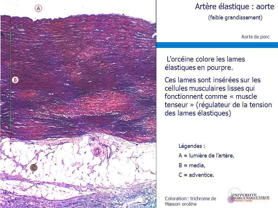 Artère élastique : aorte (faible grandissement) Aorte de porc Coloration : trichrome de Masson orcéine Légendes : A = lumière de lartère, B = media, C