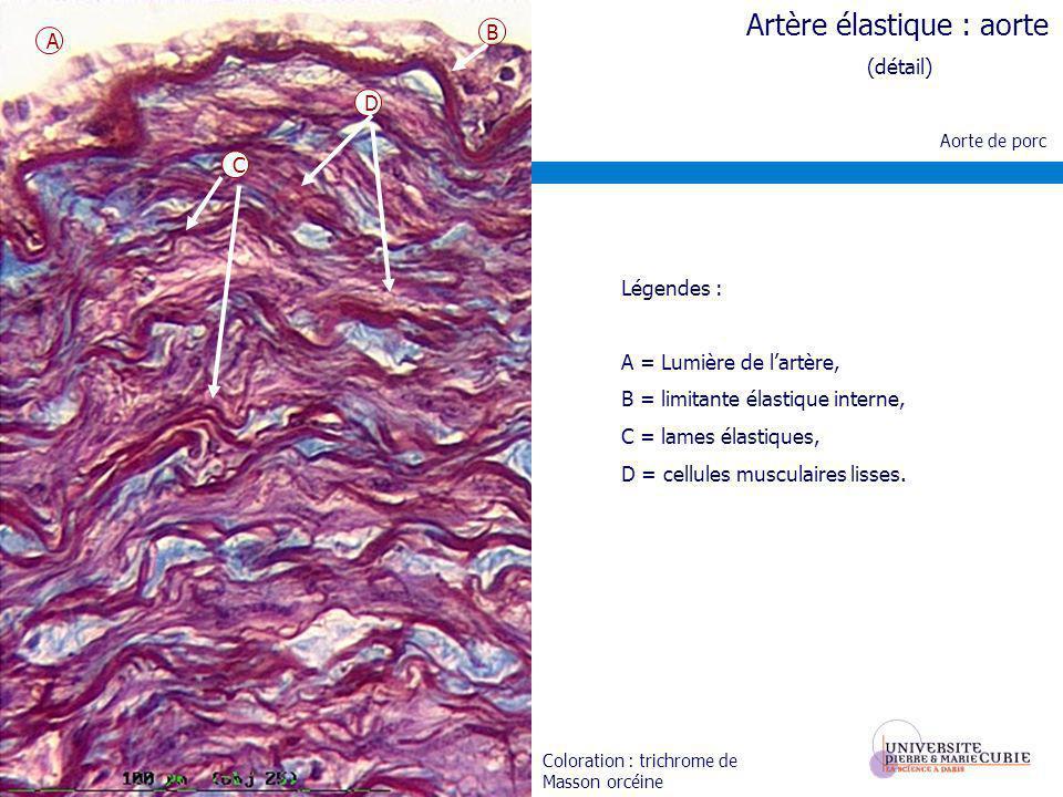 Carotide de chèvre Coloration : Trichrome de Masson orcéine Légendes : A = limitante élastique interne, B = media constituée essentiellement de cellules musculaires lisses et de rares lames élastiques (en pourpre), C = limitante élastique externe, D = adventice.