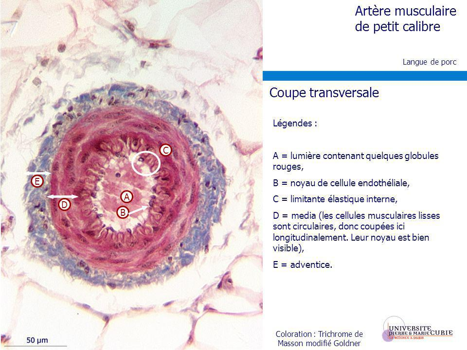 Langue de porc Coloration : Trichrome de Masson modifié Goldner Artère musculaire de petit calibre E D B A C Coupe transversale Légendes : A = lumière