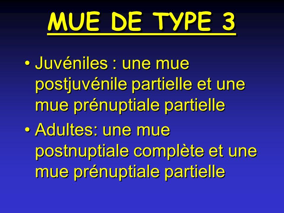 MUE DE TYPE 3 Juvéniles : une mue postjuvénile partielle et une mue prénuptiale partielle Adultes: une mue postnuptiale complète et une mue prénuptiale partielle Juvéniles : une mue postjuvénile partielle et une mue prénuptiale partielle Adultes: une mue postnuptiale complète et une mue prénuptiale partielle