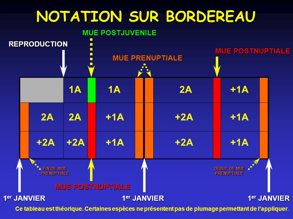 NOTATION SUR BORDEREAU 2A+1A1A 2A +2A +1A +2A +1A 1 er JANVIER REPRODUCTION MUE POSTJUVENILE MUE POSTNUPTIALE MUE PRENUPTIALE FIN DE MUE PRENUPTIALE FIN DE MUE PRENUPTIALE DEBUT DE MUE PRENUPTIALE PRENUPTIALE Ce tableau est théorique.