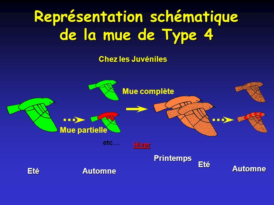 Représentation schématique de la mue de Type 4 Chez les Juvéniles etc… Mue partielle Eté Automne Mue complète Automne Printemps Hiver Eté