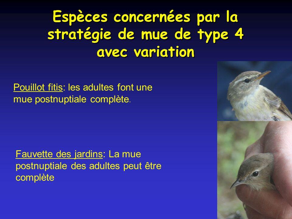 Espèces concernées par la stratégie de mue de type 4 avec variation Pouillot fitis: les adultes font une mue postnuptiale complète.