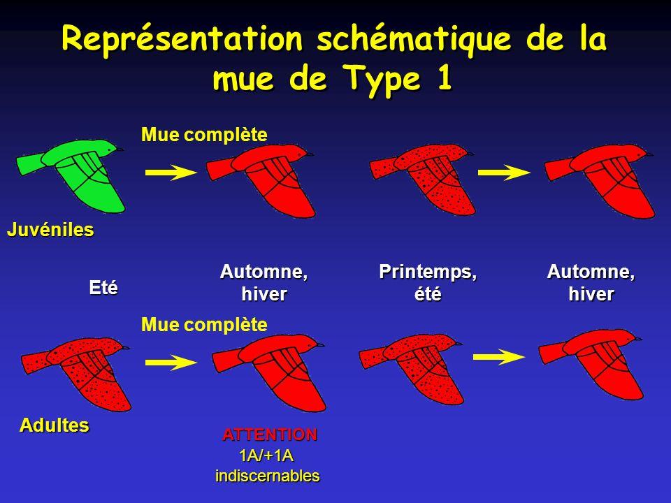 Représentation schématique de la mue de Type 1 Juvéniles Adultes Eté Automne, hiver Printemps, été ATTENTION Mue complète 1A/+1A indiscernables 1A/+1A indiscernables