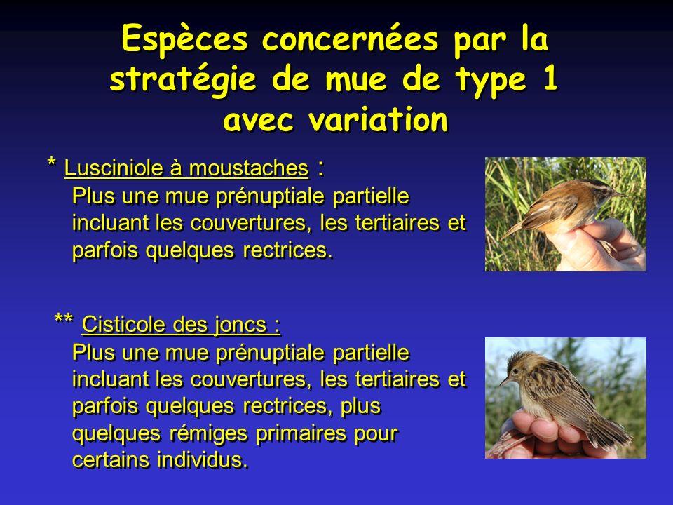Espèces concernées par la stratégie de mue de type 1 avec variation * Lusciniole à moustaches : Plus une mue prénuptiale partielle incluant les couvertures, les tertiaires et parfois quelques rectrices.