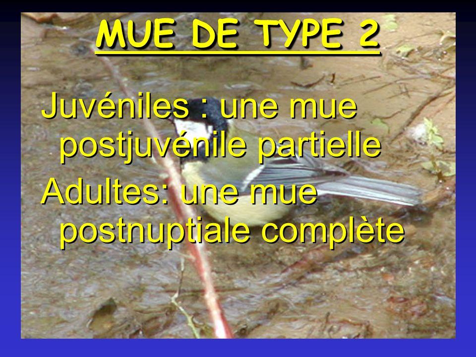 MUE DE TYPE 2 Juvéniles : une mue postjuvénile partielle Adultes: une mue postnuptiale complète Juvéniles : une mue postjuvénile partielle Adultes: une mue postnuptiale complète