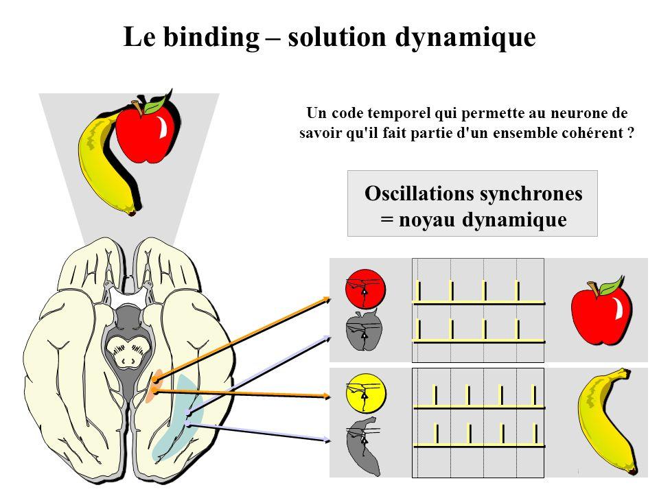 Le binding – solution dynamique Oscillations synchrones = noyau dynamique Un code temporel qui permette au neurone de savoir qu'il fait partie d'un en
