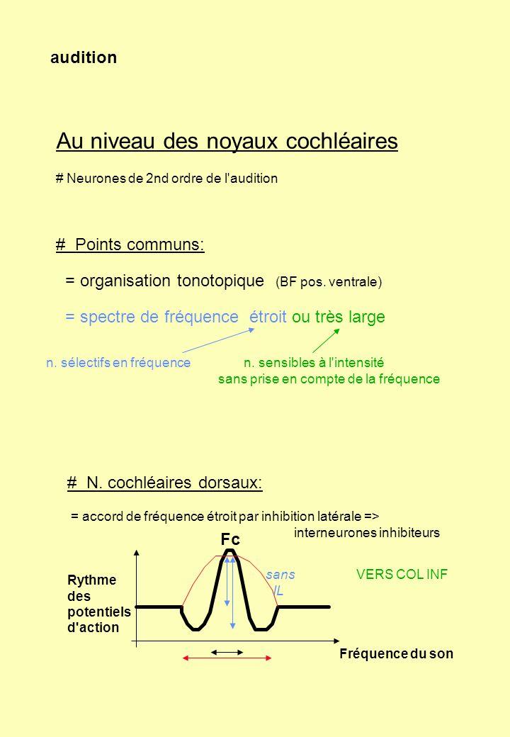 audition Au niveau des noyaux cochléaires # Neurones de 2nd ordre de l'audition # Points communs: = organisation tonotopique (BF pos. ventrale) = spec