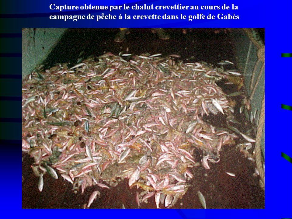 Capture obtenue par le chalut crevettier au cours de la campagne de pêche à la crevette dans le golfe de Gabès