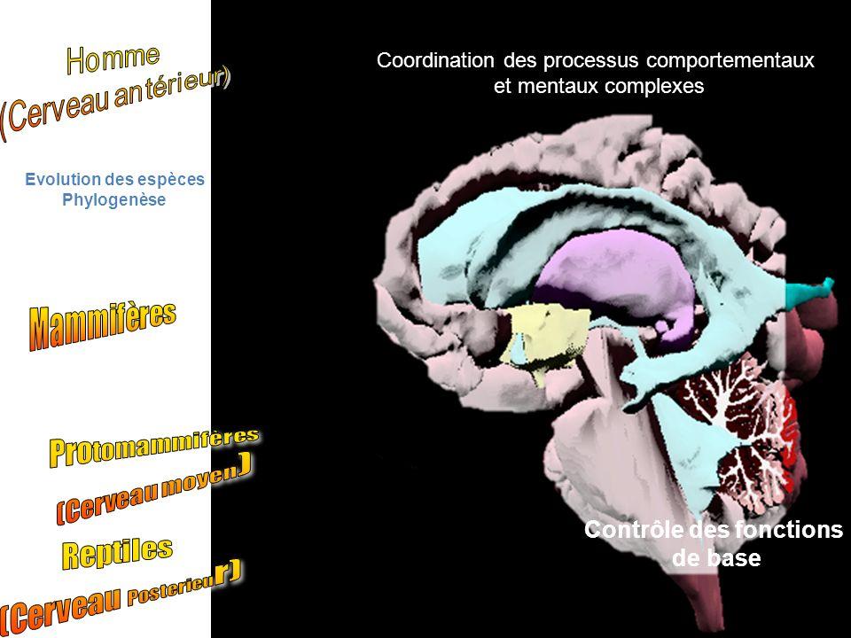 Contrôle des fonctions de base Coordination des processus comportementaux et mentaux complexes Evolution des espèces Phylogenèse