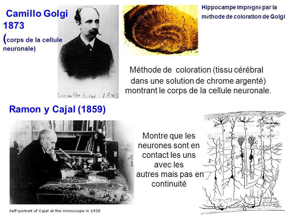 Camillo Golgi 1873 ( corps de la cellule neuronale) Hippocampe impr é gn é par la m é thode de coloration de Golgi Ramon y Cajal (1859) Montre que les