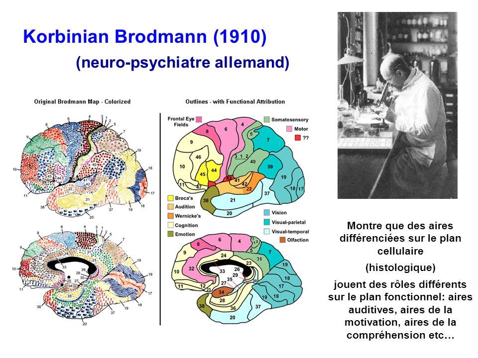 Korbinian Brodmann (1910) (neuro-psychiatre allemand) Montre que des aires différenciées sur le plan cellulaire (histologique) jouent des rôles différ