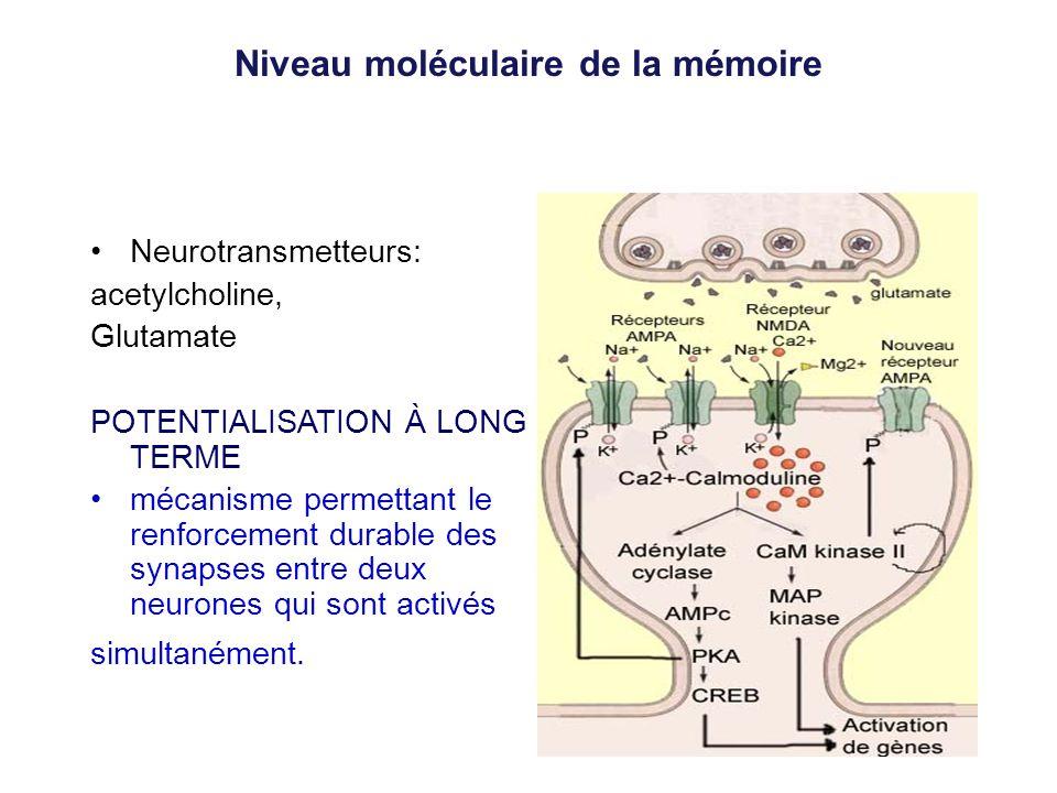 Niveau moléculaire de la mémoire Neurotransmetteurs: acetylcholine, Glutamate POTENTIALISATION À LONG TERME mécanisme permettant le renforcement durab