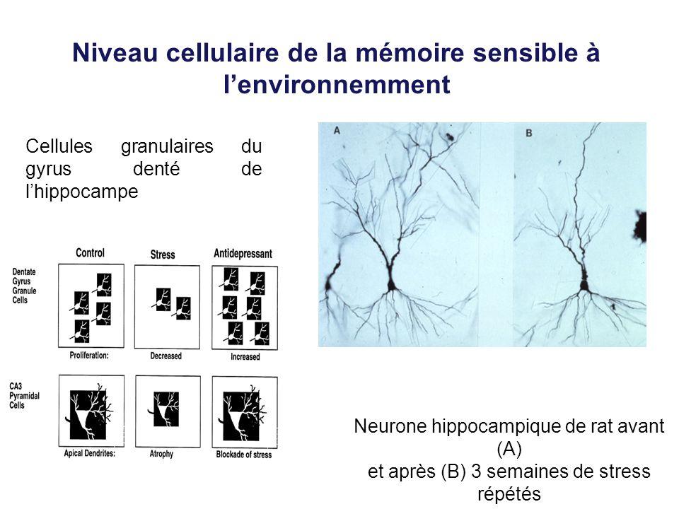 Niveau cellulaire de la mémoire sensible à lenvironnemment Cellules granulaires du gyrus denté de lhippocampe Neurone hippocampique de rat avant (A) e