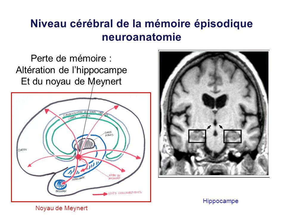 Niveau cérébral de la mémoire épisodique neuroanatomie Perte de mémoire : Altération de lhippocampe Et du noyau de Meynert Hippocampe Noyau de Meynert