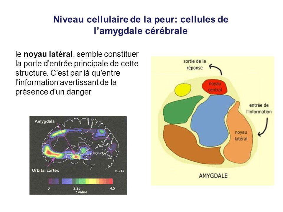 Niveau cellulaire de la peur: cellules de lamygdale cérébrale le noyau latéral, semble constituer la porte d'entrée principale de cette structure. C'e