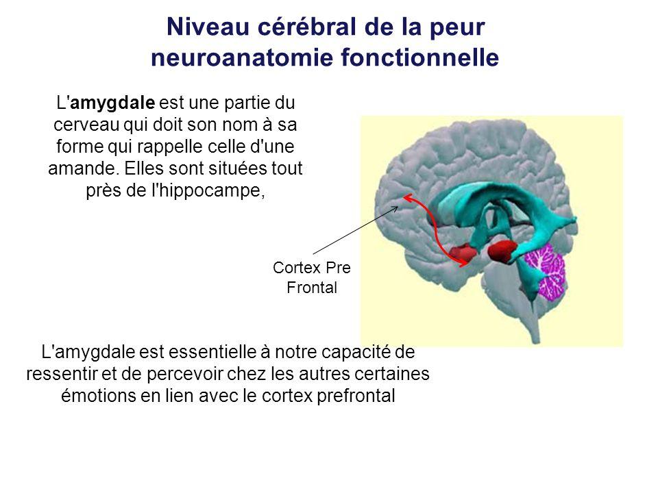 Niveau cérébral de la peur neuroanatomie fonctionnelle L'amygdale est une partie du cerveau qui doit son nom à sa forme qui rappelle celle d'une amand