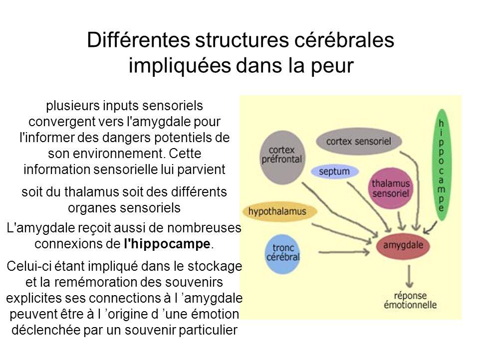 Différentes structures cérébrales impliquées dans la peur plusieurs inputs sensoriels convergent vers l'amygdale pour l'informer des dangers potentiel