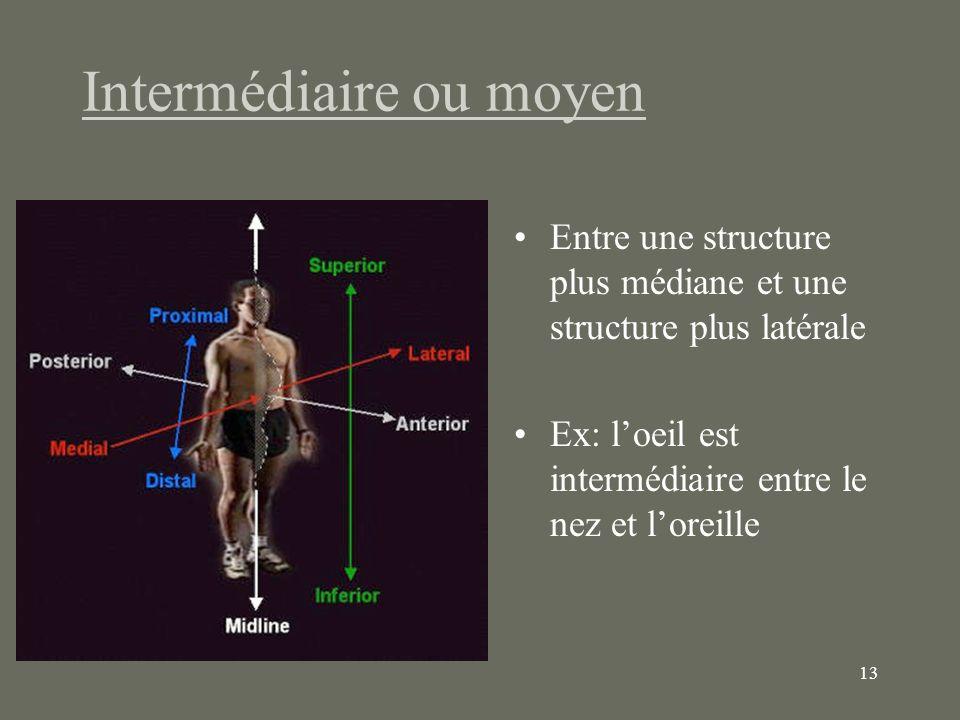 13 Intermédiaire ou moyen Entre une structure plus médiane et une structure plus latérale Ex: loeil est intermédiaire entre le nez et loreille
