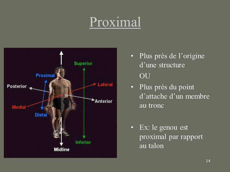 14 Proximal Plus près de lorigine dune structure OU Plus près du point dattache dun membre au tronc Ex: le genou est proximal par rapport au talon