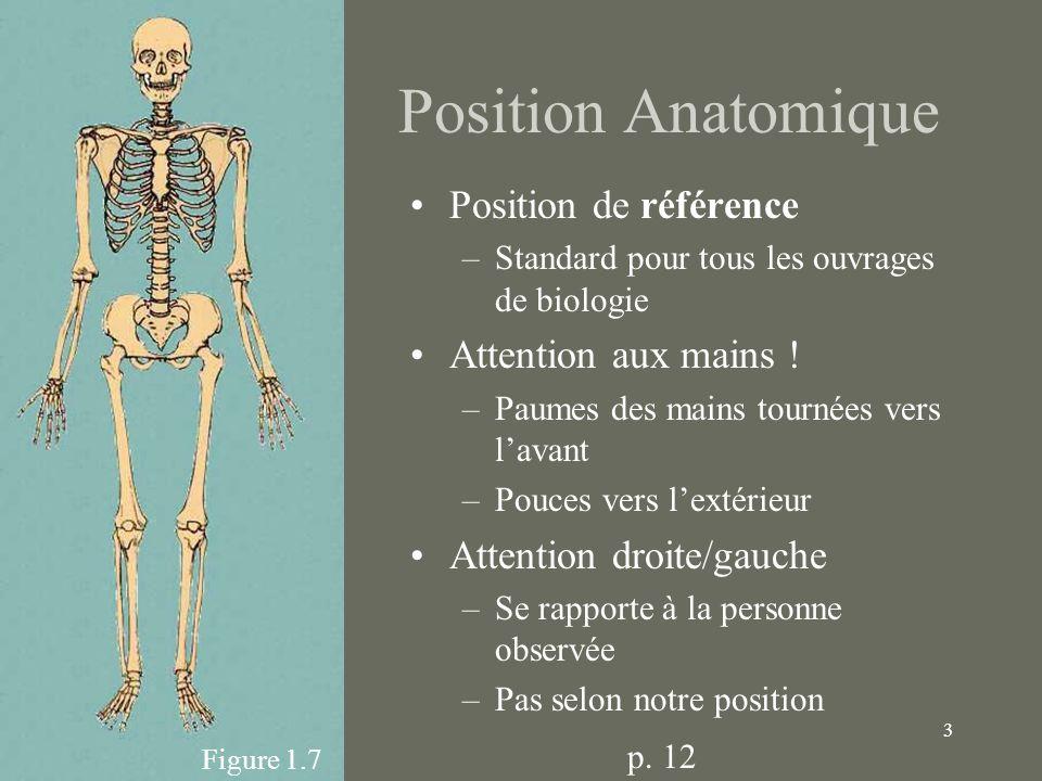3 Position Anatomique Position de référence –Standard pour tous les ouvrages de biologie Attention aux mains ! –Paumes des mains tournées vers lavant
